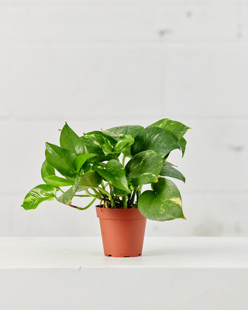 "POTHOS GOLDEN 4"" Grower Pot"