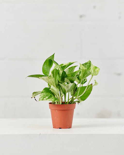 "POTHOS MARBLE QUEEN 4"" Grower Pot"