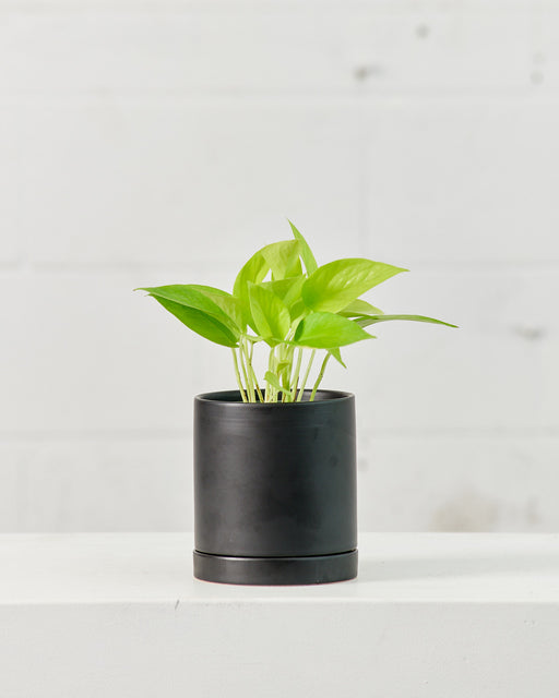 "POTHOS NEON 4"" Grower Pot"