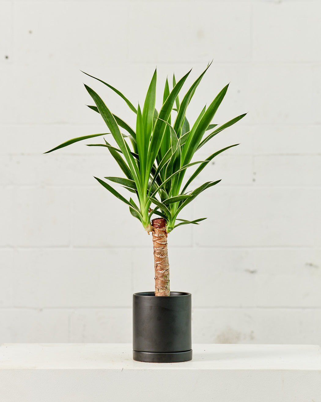 "DRACAENA YUCCA VARIEGATED CANE 6"" Grower Pot"