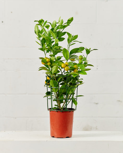 "DWARF CALAMONDIN ORANGE 7"" Grower Pot"