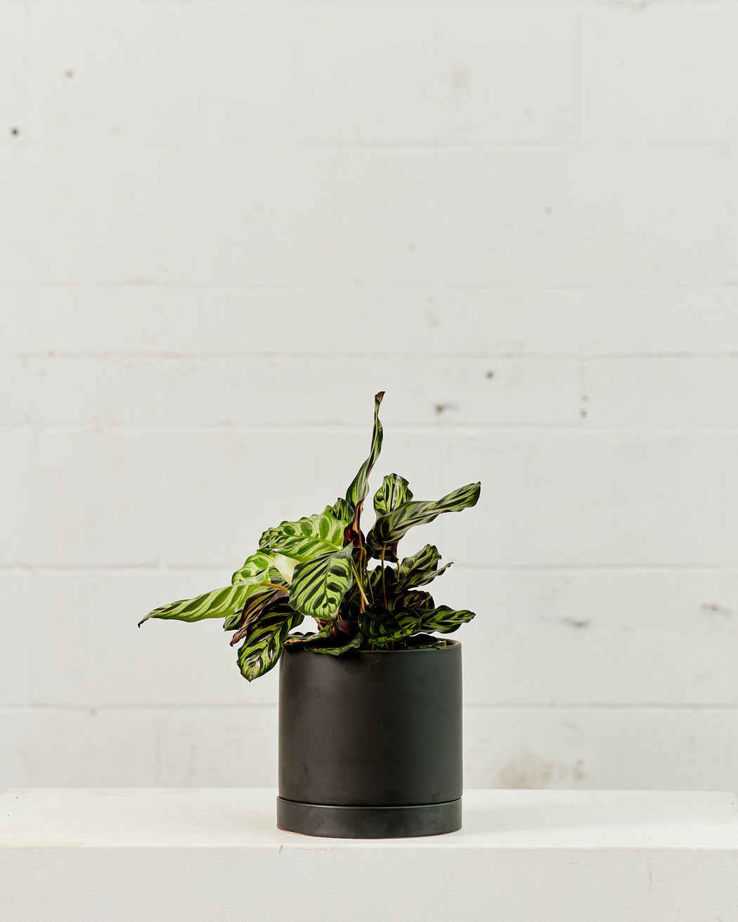 "CALATHEA MAKOYANA 6"" Grower Pot"