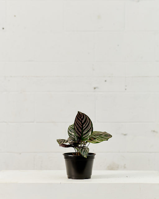 "CALATHEA ORNATA 6"" Grower Pot"