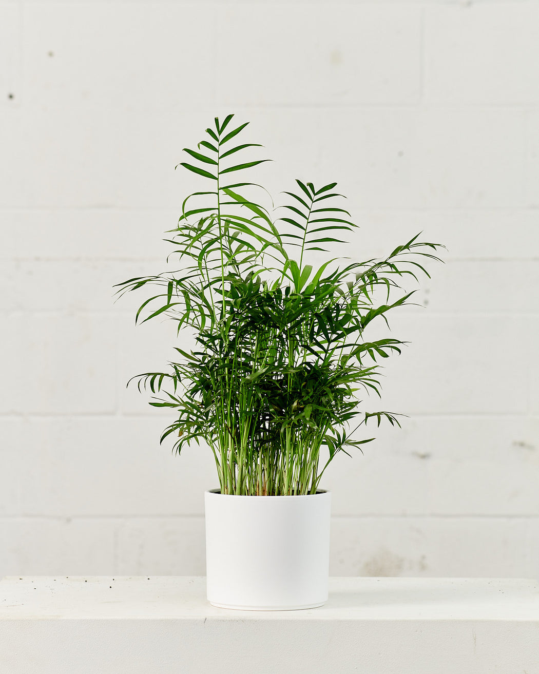 "PARLOUR PALM 6"" Grower Pot"
