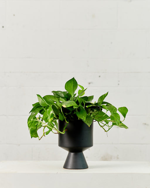 "POTHOS GOLDEN 6"" Grower Pot"