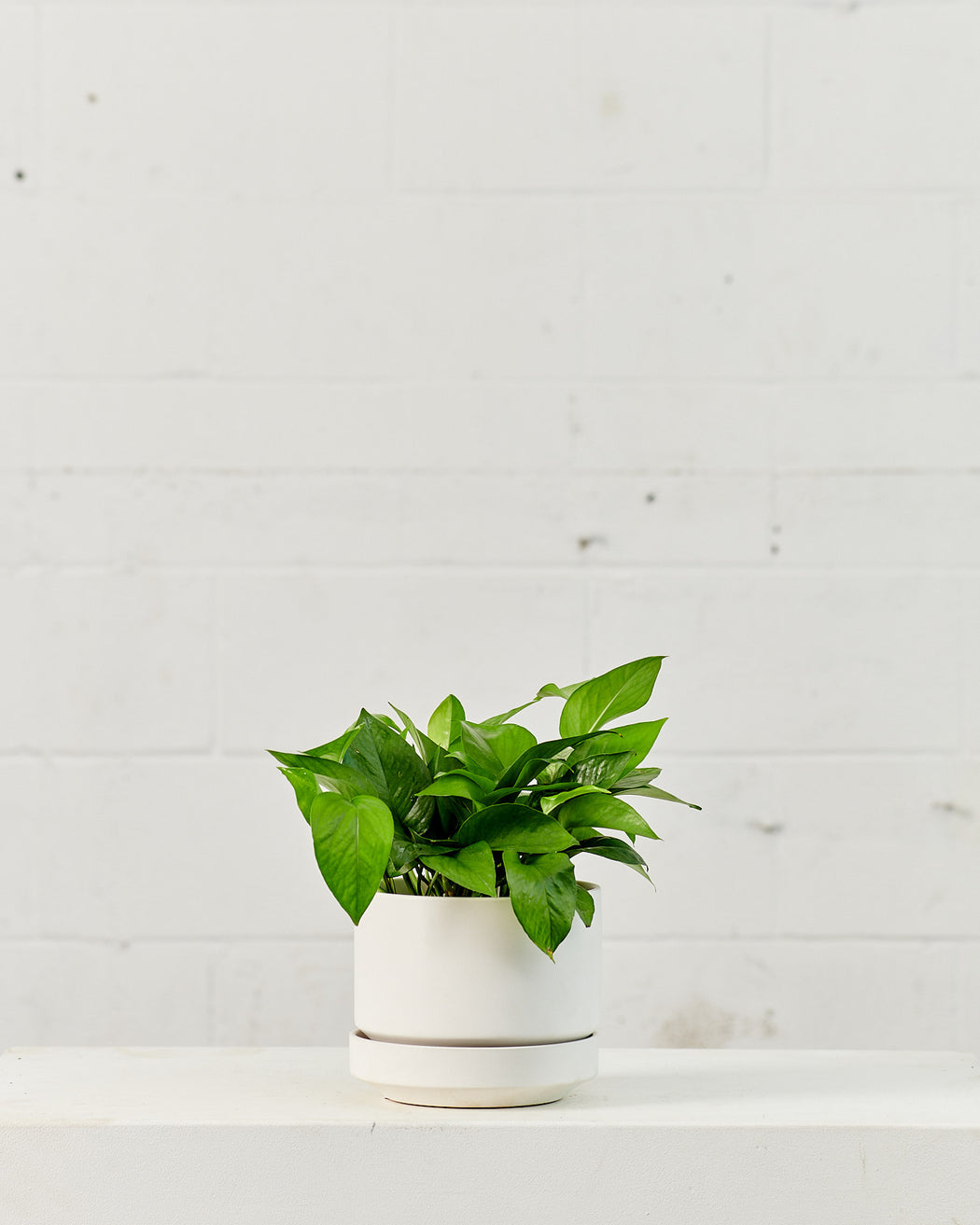 "POTHOS JADE 6"" Grower Pot"