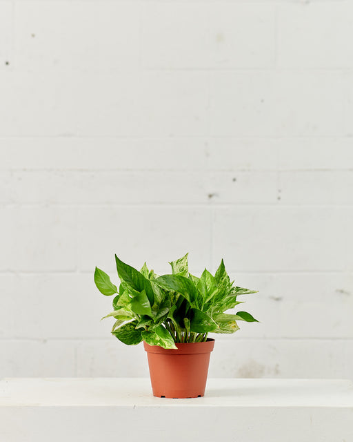 "POTHOS MARBLE QUEEN 6"" Grower Pot"