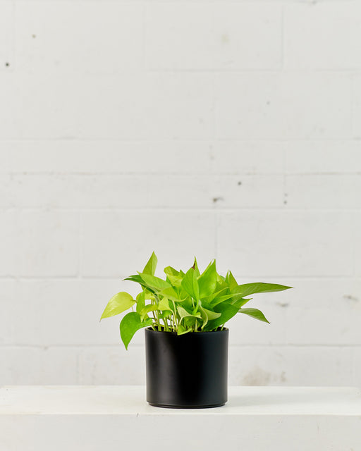 "POTHOS NEON 6"" Grower Pot"