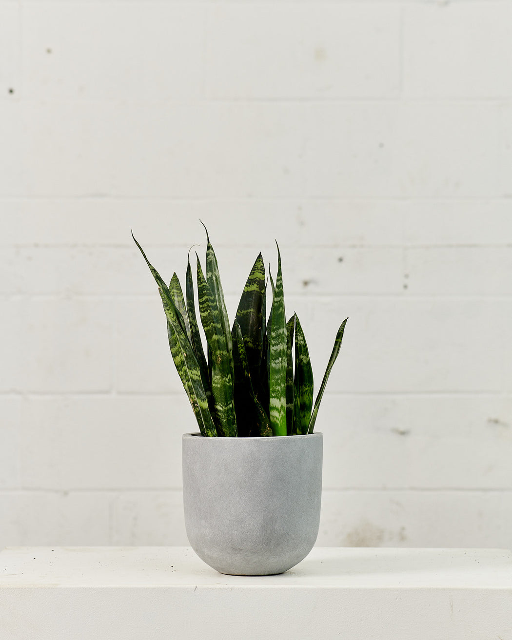"SNAKE PLANT (SANSEVIERIA 'BLACK CORAL') 6"" Grower Pot"