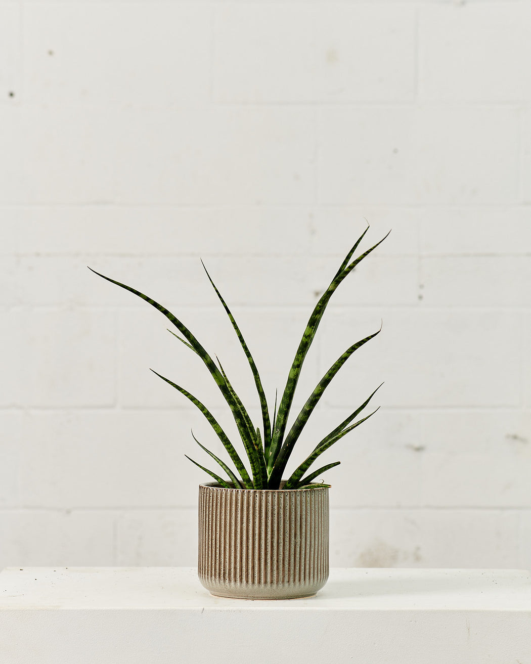 "SNAKE PLANT (SANSEVIERIA 'FERNWOOD') 6"" Grower Pot"