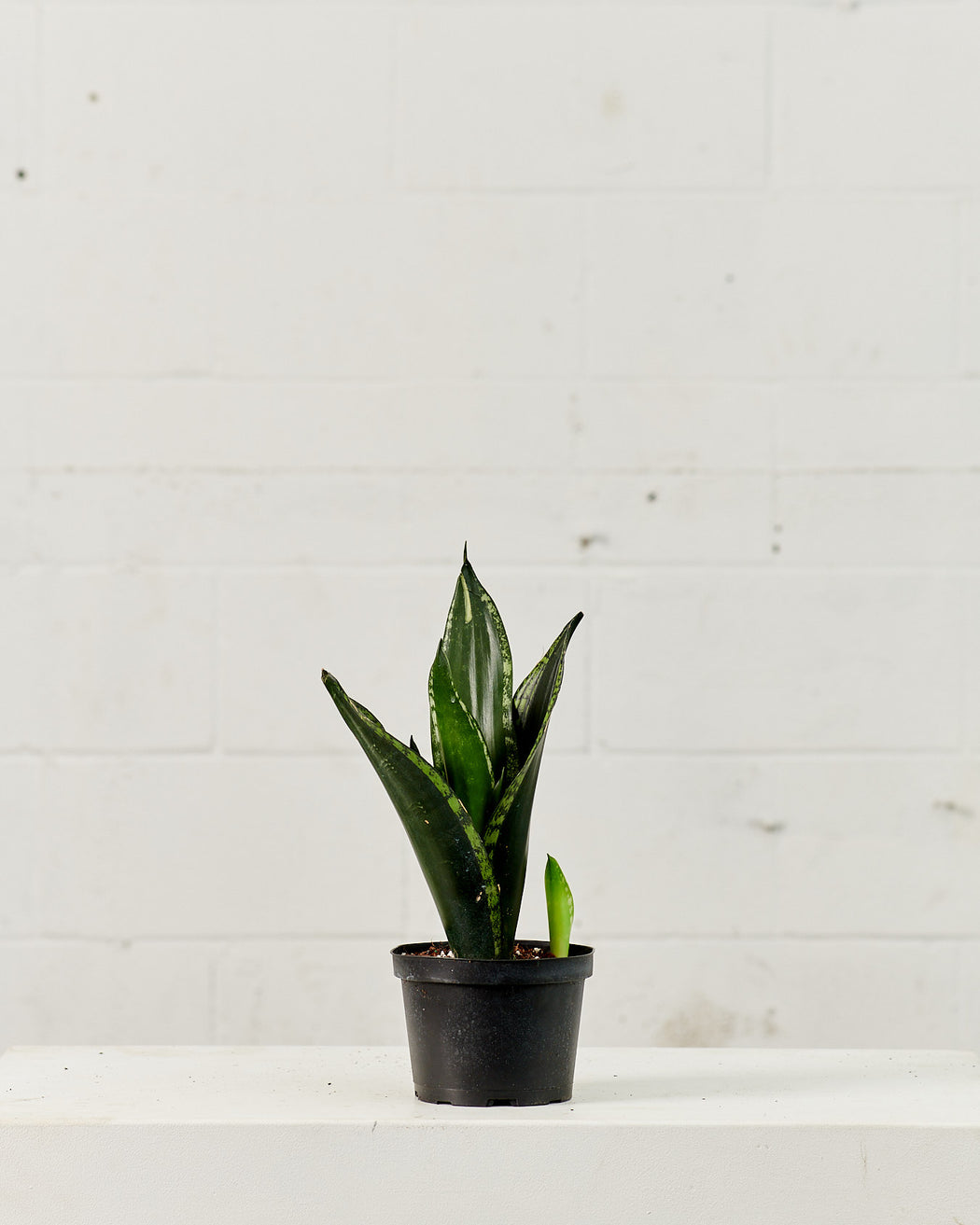 "SANSEVIERIA SILVER FLAME 6"" Grower Pot"