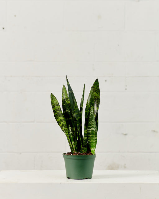 "SNAKE PLANT (SANSEVIERIA 'ZEYLANICA') 6"" Grower Pot"