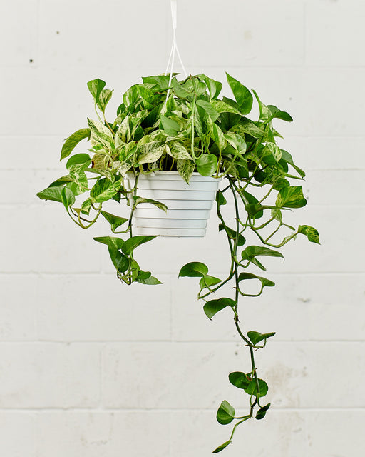 "8"" HANGING BASKET POTHOS MARBLE QUEEN"