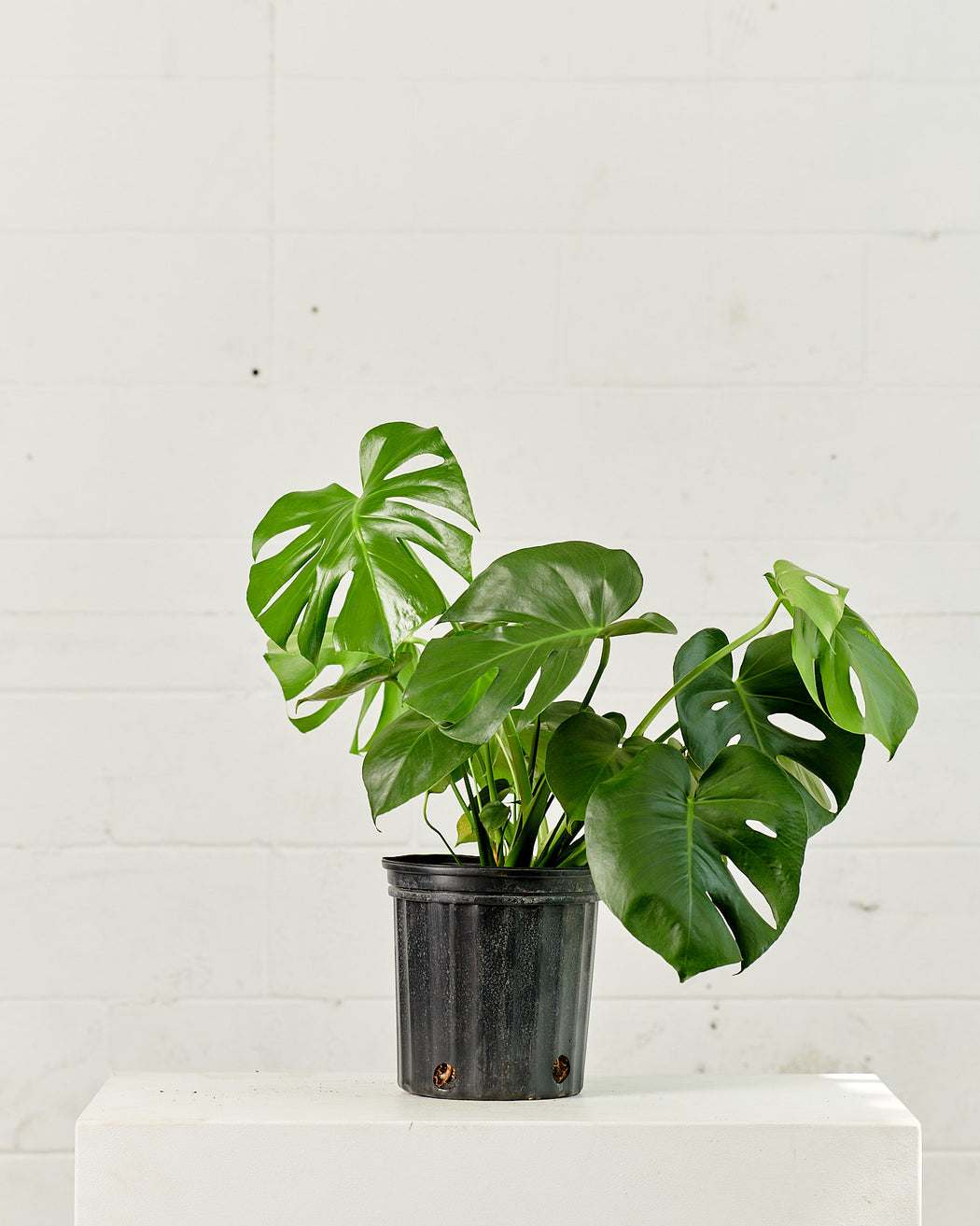 "MONSTERA 8"" Grower Pot"