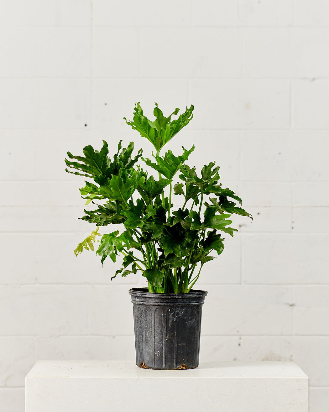 "PHILODENDRON 'SELLOUM' 8"" Grower Pot"