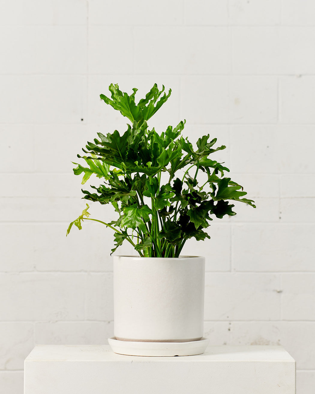 "PHILODENDRON SELLOUM 'HOPE' 8"" Grower Pot"