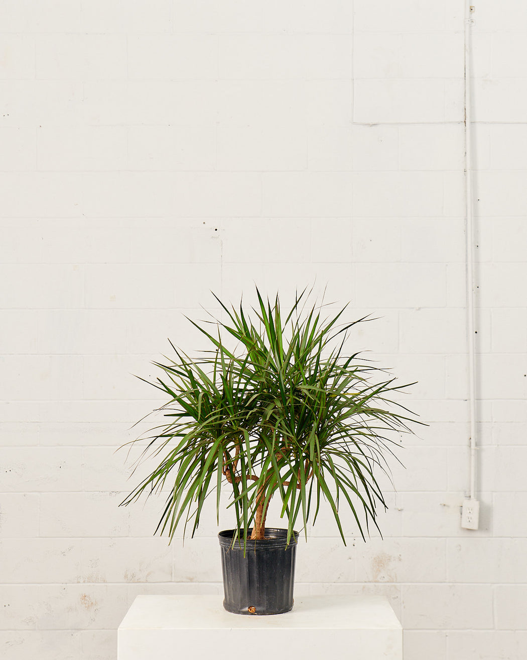 "DRACAENA MARGINATA CANDELABRA 10"" Grower Pot"