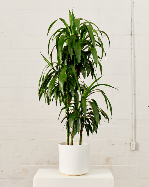 "DRACAENA ELEGANCE CANE 10"" Grower Pot (5ft tall)"