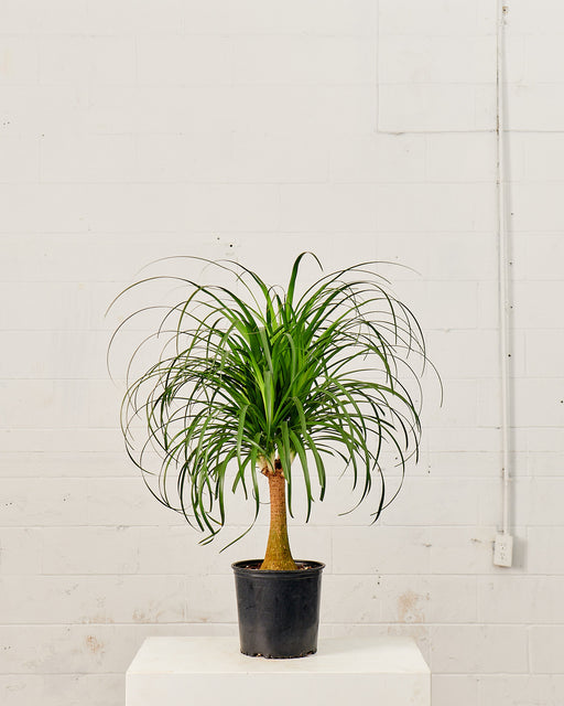 "PONYTAIL PALM 10"" Grower Pot"