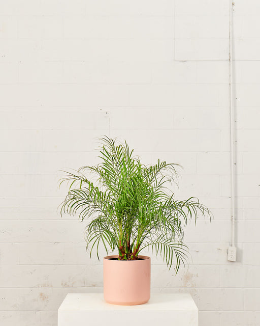 "PHOENIX ROBELLINI PALM 10"" Grower Pot (2-3 ft tall)"