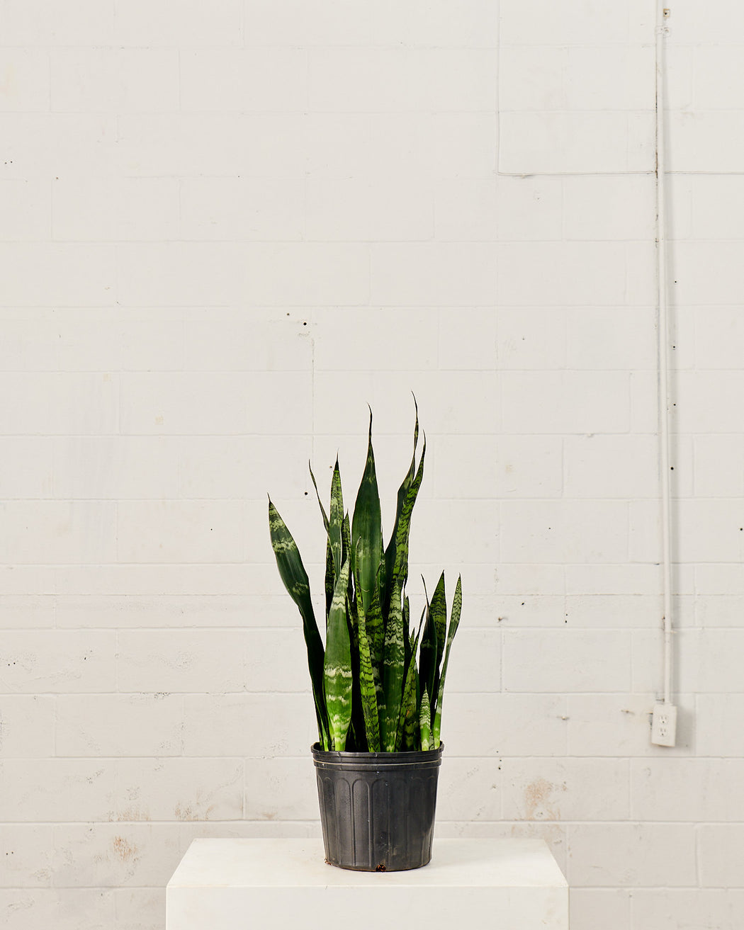 "SNAKE PLANT (SANSEVIERIA BLACK CORAL) 10"" Grower Pot (2.5-3ft tall)"