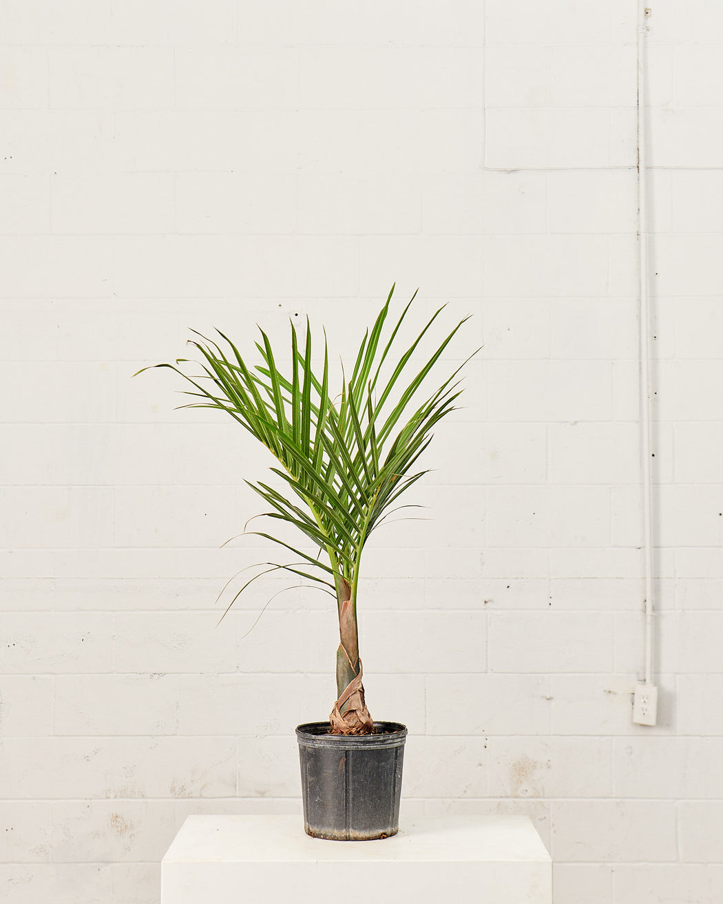 "SPINDLE PALM 10"" Grower Pot (4 ft Tall)"