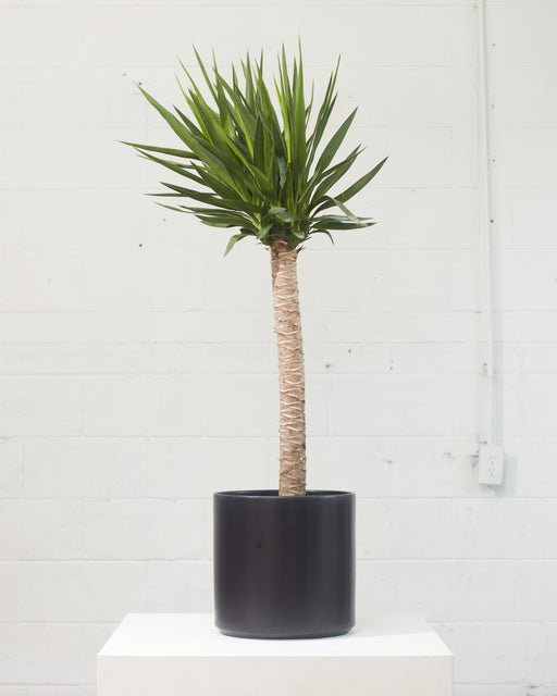 "DRACAENA YUCCA 10"" Grower Pot (4.5' tall)"
