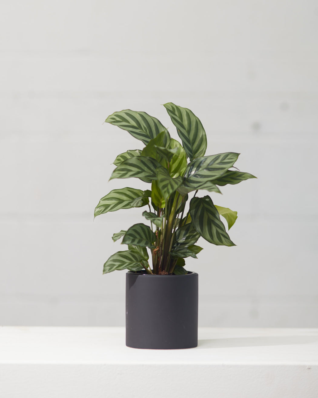 "CALATHEA 'CONCINNA' 4"" Grower Pot"