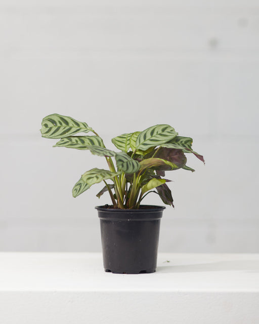 "CALATHEA 'CTENANTHE BURLE-MARXII' 4"" Grower Pot"