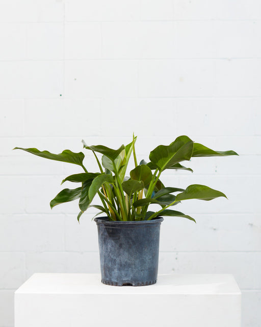 "PHILODENDRON 'GREEN CONGO' 10"" Grower Pot"