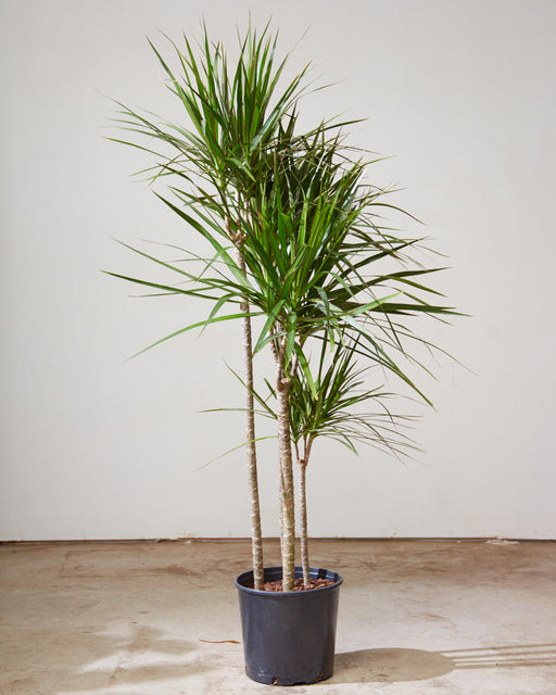 "DRACAENA MARGINATA CUTBACK 12"" Grower Pot (~4.5 ft tall)"