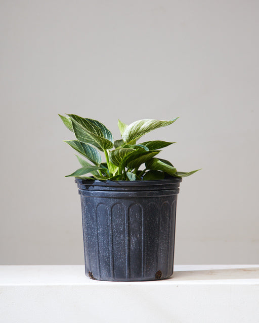 "PHILODENDRON BIRKIN 10"" Grower Pot"