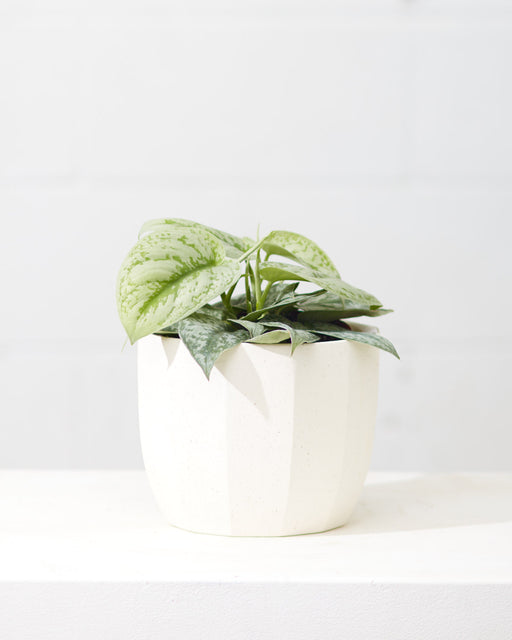 "SCINDAPSUS 'SILVER SATIN' 6"" Grower Pot"