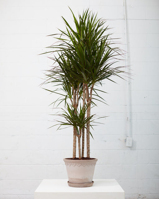 "DRACAENA MARGINATA STAGGERED 10"" Grower Pot (~5 ft tall)"