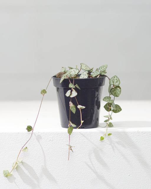 "STRING OF HEARTS 3.5"" Grower Pot"