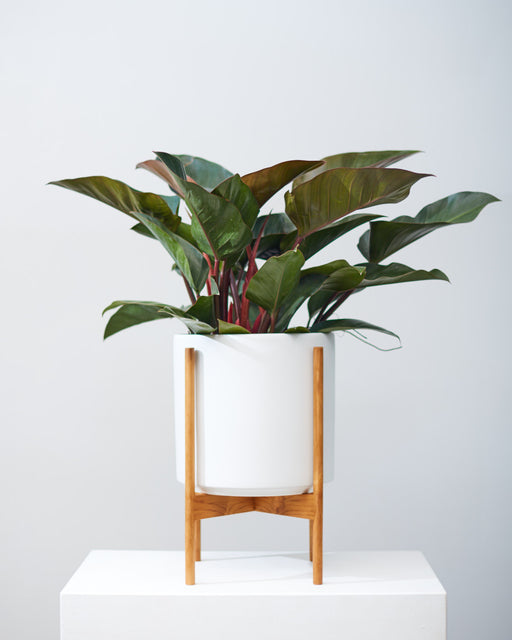 "PHILODENDRON 'RED CONGO' 10"" Grower Pot"