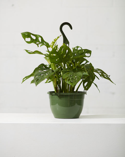 "8"" HANGING BASKET PHILODENDRON ADANSONII"