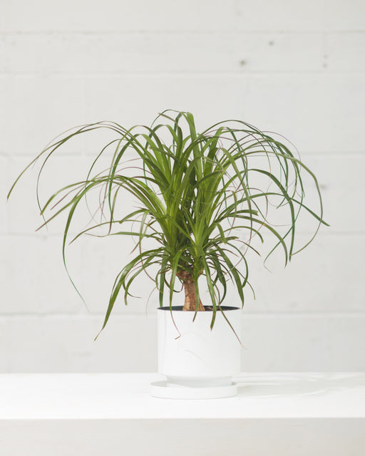 "PONYTAIL PALM 6"" Grower Pot"