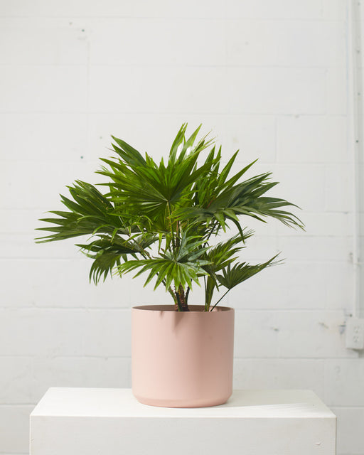 "LIVISTONA PALM 8"" Grower Pot (2.5ft Tall)"