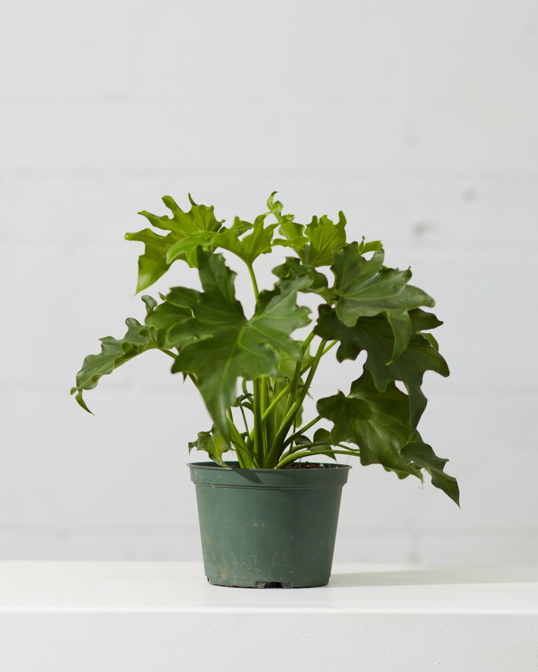 "PHILODENDRON 'SELLOUM' 6"" Grower Pot"