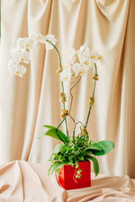 Load image into Gallery viewer, White Phalaenopsis Orchids in Lacquered Box - Spruce Florals & Events