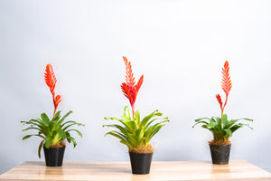 Bromeliad Vriesea - Spruce Florals & Events