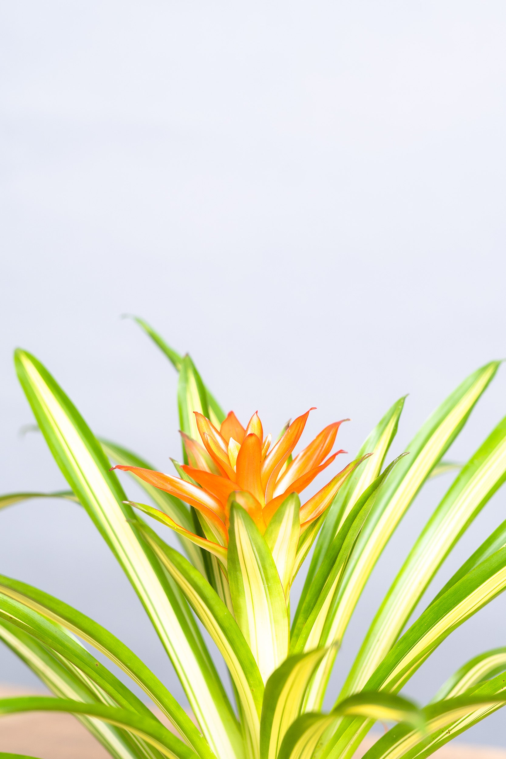 "Bromeliad ""Ice Cream"" - Spruce Florals & Events"