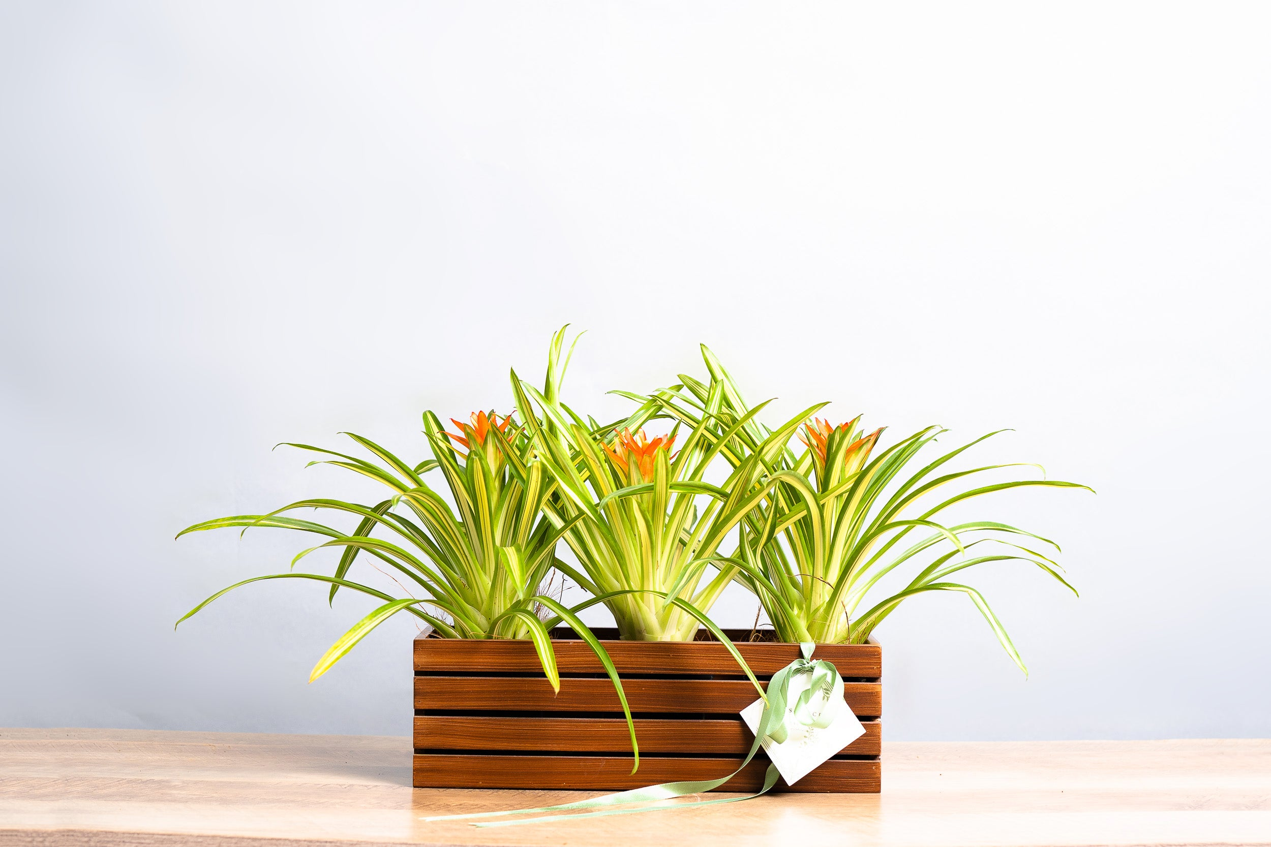 "Bromeliad ""Ice Cream"" Crate - Spruce Florals & Events"