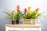 Load image into Gallery viewer, Bromeliad Guzmania Crate - Spruce Florals & Events