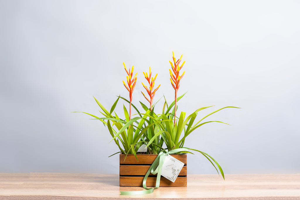 "Bromeliad ""Dissitiflora Major"" Crate - Spruce Florals & Events"