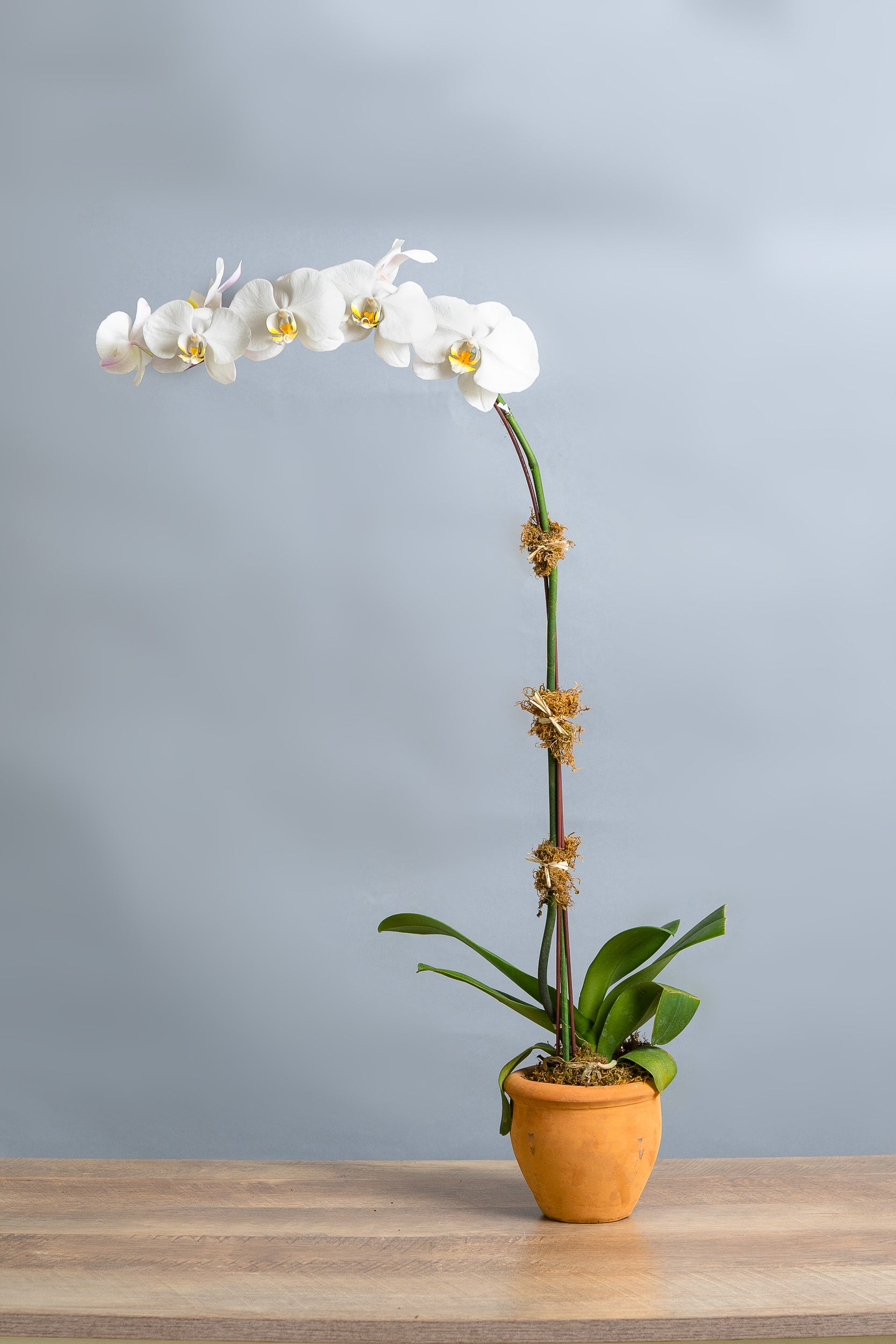 White Phalaenopsis Orchid in Pot - Spruce Florals & Events