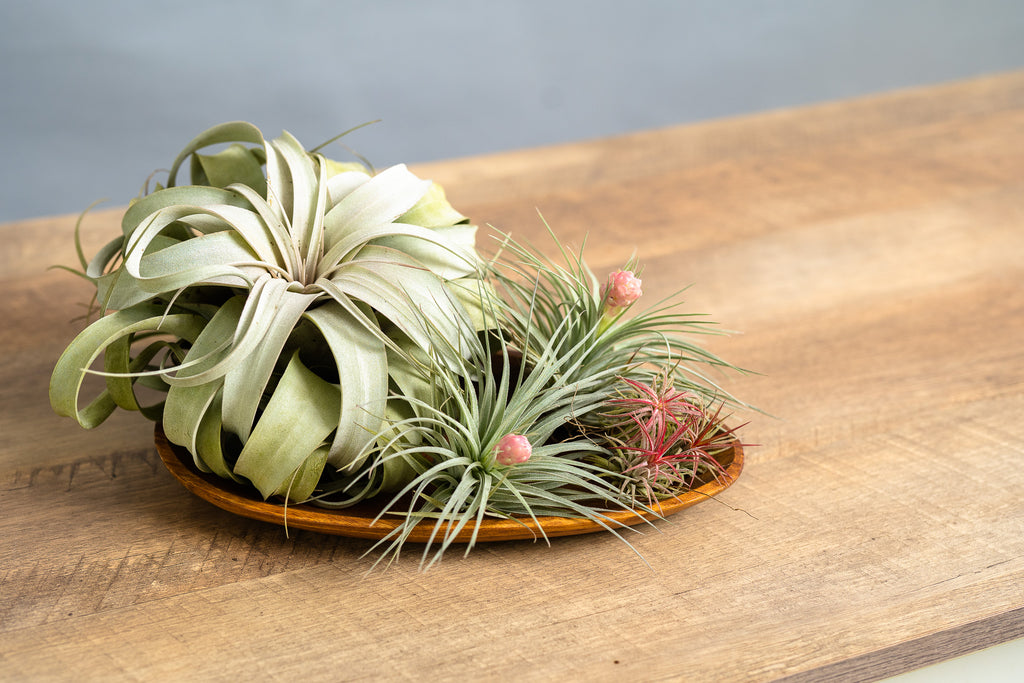 Air Plant Collection - Spruce Florals & Events