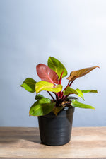 Load image into Gallery viewer, Philodendron Prince of Orange