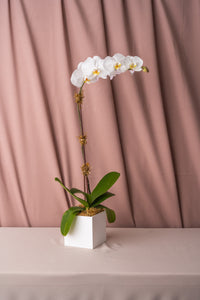 White Phalaenopsis Orchids in Lacquered Box
